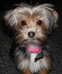 lhasa apso puppy shedding yorkie apso breed information and pictures
