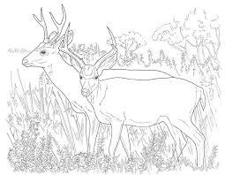 Deer Coloring Pages Online