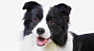 Do Blue Heeler Border Collies Shed by Border Collie Dog Breed Information American Kennel Club