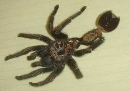 can tarantulas shed their skin 100 images overview for