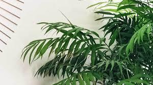 palmen als zimmerpflanzen standort pflege pflanzgefäße