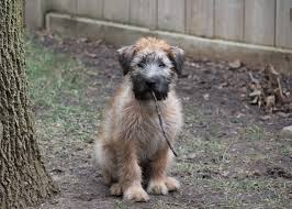 Do Irish Wheaten Terriers Shed by Wheaten Terrier Development Aidan 10 Weeks To 14 Weeks
