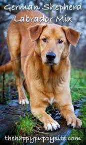 Do Shar Pei Lab Mix Shed by German Shepherd Lab Mix Your Complete Breed Guide