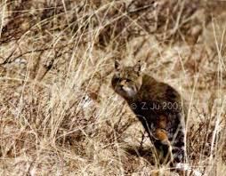 mountain cat mountain cat f s bieti international society for
