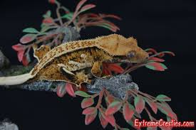 Baby Halloween Crested Gecko by Extreme Cresties Crested Gecko Available Page