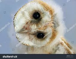 Portrait Baby Barn Owl Head Naturally Stock Photo 1733811 ... Barn Owl Focus On Cservation Best 25 Baby Ideas On Pinterest Beautiful Owls Barn Steal The Show As Day Turns To Night At Heartwood Family Ties Owl Chicks Let Their Hungry Siblings Eat First The Perch Uncommon Banchi Baby Coastal Home Giftware From Horizon Stock Image Image Of Small Young Looking 3249391 You Know Birdnote Banding By Alex Lamoreaux Nemesis Bird