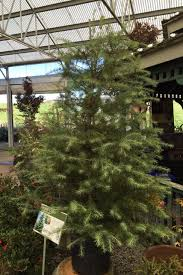 Best Kinds Of Christmas Trees by Photos Best Local Options For Living Christmas Trees