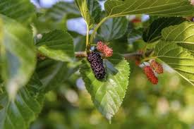 Dwarf Mulberry Tree Facts How To Grow A In Pot