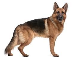 le berger pas cher berger allemand tout sur cette race de chien