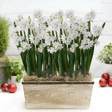 narcissus daffodil bulbs for sale