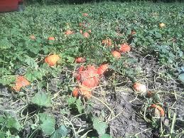 Pumpkin Patch Massachusetts by Pumpkins Pick Your Own South Shore Ma Cn Smith Farm East Bridgewater