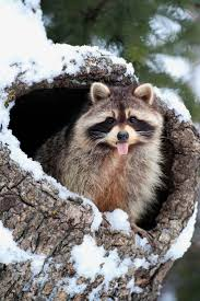 826 Best Raccoons Images On Pinterest | Raccoons, Nature And ... Service Wildlife Command Center Mo How To Get Rid Of Raccoons Youtube With A Motion Activated Sprinkler My To Of Raccoons Video Roof Pool Attic Yard 42 Best Raccoon Pictures Images On Pinterest Wild Animals Search For A Home Removal Homes All City Animal Trapping November 2010 Tearing Up Your Yard Theyre After The Grubs 3 Easy Ways Wikihow In Warning Signs Solutions Problems Precise Termite Baylcariasis The Tragic Parasitic Implications In