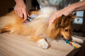 Dogs That Shed Little Hair by A Veterinarian U0027s Thoughts On How To Reduce Shedding In Pets