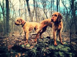 Do Wirehaired Vizslas Shed by Antler Sheds Dispatches From The Potomac