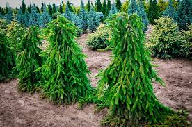Weeping Norway Spruce For Sale Online