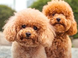 Small Dogs That Dont Shed Hair by 15 Hypoallergenic Dogs And Cats Health