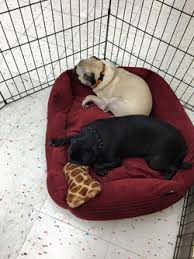 Petco Dog Beds by Green Mountain Pug Rescue