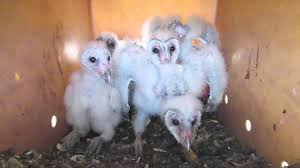 Barn Owl Chicks - YouTube Barn Owl Box Company Wildlife San Francisco Forest Alliance Food Lodging Owls See A Housing Boom In Walla Washington Audubon Best 25 Owls Ideas On Pinterest Beautiful Owl And Utah Nest Box 2 Youtube There Is Always One That Ruins Family Picture Trio Family Ties Chicks Let Their Hungry Siblings Eat First Texas 2017 Update All About Birds Bring Up Baby How Barn Do It Help Clean Up Rodents Naturally Green Blog Anr Blogs