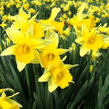 daffodil bulbs buy at best prices in ireland uk