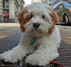 do cavapoos shed a lot best 25 hypo allergenic dogs ideas on havanese