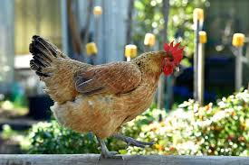 Backyard Chickens Tickets, Sat, 18/11/2017 At 9:30 Am | Eventbrite 1084 Best Raising Chickens In Your Back Yard Images On Pinterest 682 Chicken Coops 632 Backyard Ducks Keeping Backyard Chickens Agriculture And Food 100 Where To Buy Or Meet The Best 25 Ideas Pharmacologist Warns That Eggs From Pose Poultry Poultry Hub 7 Reasons You Should Raise 50 Pams