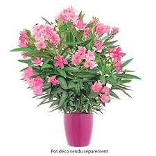 nerium oleander h 40 60 cm ctr 7 5 litres autres marques
