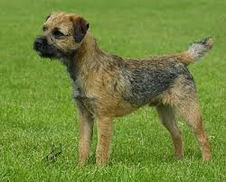 fox terrier any good as a boat dog