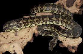 Coastal Carpet Python Facts by Victorian Herpetological Societyeast Queensland Carpet Python