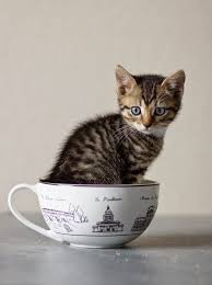 tea cup cat story of teacup cats and miniature cats samoreals