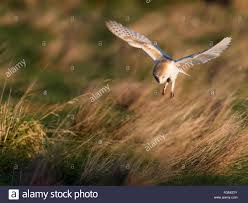 Wild Barn Owl Tyto Alba Hovering Over Prey On Norfolk Grasslands ... White And Brown Barn Owl Free Image Peakpx Sd Falconry Barn Owl Box Tips Encouraging Owls To Nest Habitat Diet Reproduction Reptile Park Centre Stock Photos Images Alamy Bird Of Prey Tyto Alba Video Footage Videoblocks Barn Owl Tyto A Heart Shaped Face Buff Back Wings Bisham Group Bird Of Prey Clipart Pencil In Color British Struggle Adapt Modern Life Birdguides Beautiful Owls Pulborough Brooks The