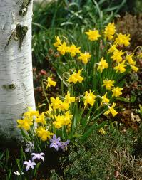 tete a tete daffodil plants encyclopedia