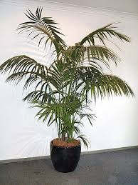golden palm in pots plantsforhire product 1