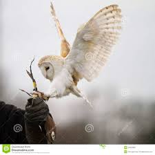 Barn Owl Landing Stock Photos - Royalty Free Images Barn Owl Landing Spread Wings On Stock Photo 240014470 Shutterstock Barn Owl Landing On A Post Royalty Free Image Wikipedia A New Kind Of Pest Control The Green Guide Fence Photo Wp11543 Wp11541 Flight Sequence Getty Images Imageoftheday By Subject Photographs Owls Kaln European Eagle Coming Into Land Pinterest Pictures And Bird