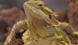 Bearded Dragon Shedding A Lot by Bearded Dragon Shedding Things You Should Know