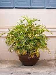 golden palm in pots 2 areca dypsis golden butterfly palms multi plant 4 pots