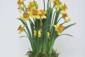 how do potted daffodils last home guides sf gate