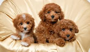 Hypoallergenic Dog Breeds That Dont Shed by Small Hypoallergenic Dogs Petlife