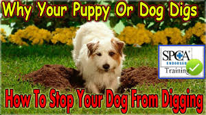 How To Train Your Dog To Stop Digging { START NOW! } Keep A Dog ... Amazoncom High Tech Pet Humane Contain X10 Rechargeable Multi Dog Gone Problems How To Keep Your Dog Safe Around Weed Killer Canine Hoarders Why Do Dogs Bury Food Petful What Should I If My Dies At Home The 25 Best Proof Fence Ideas On Pinterest Digging Dogs Blog Ruff Life Outfitters Animal Tips Archives Tupelolee Society Wireless Fence 2017 Top Consumer Picks Expert Unbiased Reviews Logic Lol You Stop Feeding Your Commercial 26 Quick Simple Ways To Relieve Boredom Puppy Leaks Is It Legal A In Yard Willamette Week