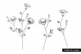 Drawing California Poppy Flowers Premium Vector