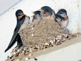 Northwest Nature Notes: April 2013 Barn Swallow Hirundo Rustica Fledgling In Nest Stock Photo Chicks Almost Ready To Leave The The Life Of Filebarn Fledglings Nestling Siblings Near Its Three Young Hatchling Nests Seasons Flow Bird Nests A Website On Birds World Nestlings Nestwatch Sauvie Island 30 May 2013 John Rakestraw Words Birds Cservation And Research British Columbia