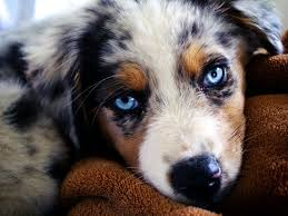 Non Shedding Small Dogs Australia by Australian Shepherd Breed Guide Learn About The Australian Shepherd