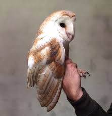 Kerry Birding: Ireland's Oldest Wild Barn Owl Discovered In Kerry Standing Twelve Weekold Barn Owl Side View Stock Photo Getty Images Boxes South Downs National Park Authority Old Man Of Minsmere Aka John Richardson Gorgeous Birds In Folklore Owls And Ravens Randomdescent Orbit The 5 Weekold Baby Who Has Been Hand Ared By Owl Wikipedia Coda Falconry On Twitter Our 7 Week Old Barn Was Bred At Dont Go Deaf New Zealand Geographic Australian Masked Rescuing Owls Tropic Wonder Audubon Art Print Vintage Nature Bird Eyfs Blog Archive Wise