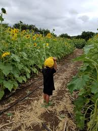 Waimanalo Pumpkin Patch Oahu by Blog Okazoo A Lifestyle Blog For Kids By 2 Kids 1 Mom