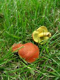 Fungus Fest | Garden Housecalls Massive Mushrooms Perennial Garden Lover Soilduck Fanciful Fungi 3 Truffles In Your Backyard Backyards Amazing Edible Plants Scotch Bonnet Lawn Mushroom Youtube Free Images Nature Forest Backyard Leaves Fungus Mushrooms Identify These Back Yard Edible Hunting And How To Grow Get Rid Of The Yard Southern Living Mrgola Murga Morilla O Rabassola Morchella Rotunda Seta Fall For Wild Missouri Department Cservation Stop Bagging Lawn Nonblooming Irises Nh Notes A Diverse Array Naturalis