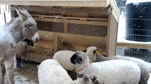 Sheep And Winter Weather - YouTube Britespan Building Systems Inc Fabric Buildings The Barn At Gibbet Hill Traditional Corsican Sheep Barns With Pool 10 Km From Porto Spherds Way Farms Build The Barns Grow Flock By Steven Acvities For Children High Park Shed Books Plan Choice Sheep Barn Plans Designs And Farm Structures Waterford Vermont Maremma Sheepdog Herding Finndorset Stone Center Youtube Horizon Prefab Shedrow Can Easily Be Adapted