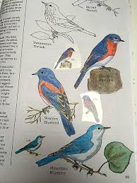 Eastern Western And Mountain Bluebirds In The Peterson Birds Color