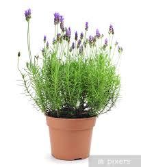 fototapete lavendel pflanze