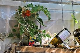 We Have Been Using The Herbs From Our Pallet Garden For Sometime Now But As You Can See Some Tomatoes Romas Ripening In