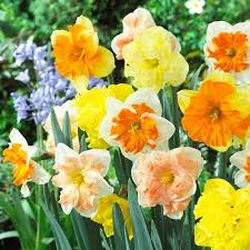 buy split corona daffodil bulbs at best prices in ireland