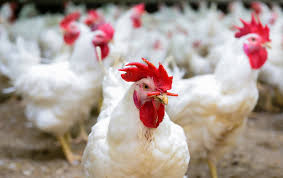 People Are Getting Salmonella From Touching Live Chickens - The ... The 25 Best Salmonella Symptoms Ideas On Pinterest Memes True Pharmacologist Warns That Eggs From Backyard Chickens Pose Chicken Chick Salpingitis Lash Eggs In Backyard Chickens Raising Chickenswhat You Need To Know Penn State Food Safety Blog And The Higher Risk Health Concerns When Tending Tahoetruckee Nationwide Salmonella Outbreak Linked Pet Makes 611 Sick Nbc News Outbreaks 47 States How Not Get Your Chicken